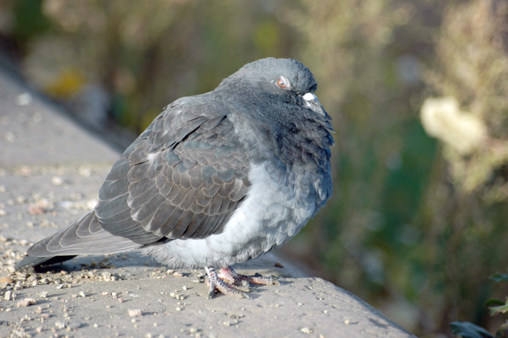 One of the two surviving pigeons that thrive on Dúlra's bounty – until the sparrowhawk inevitably intervenes
