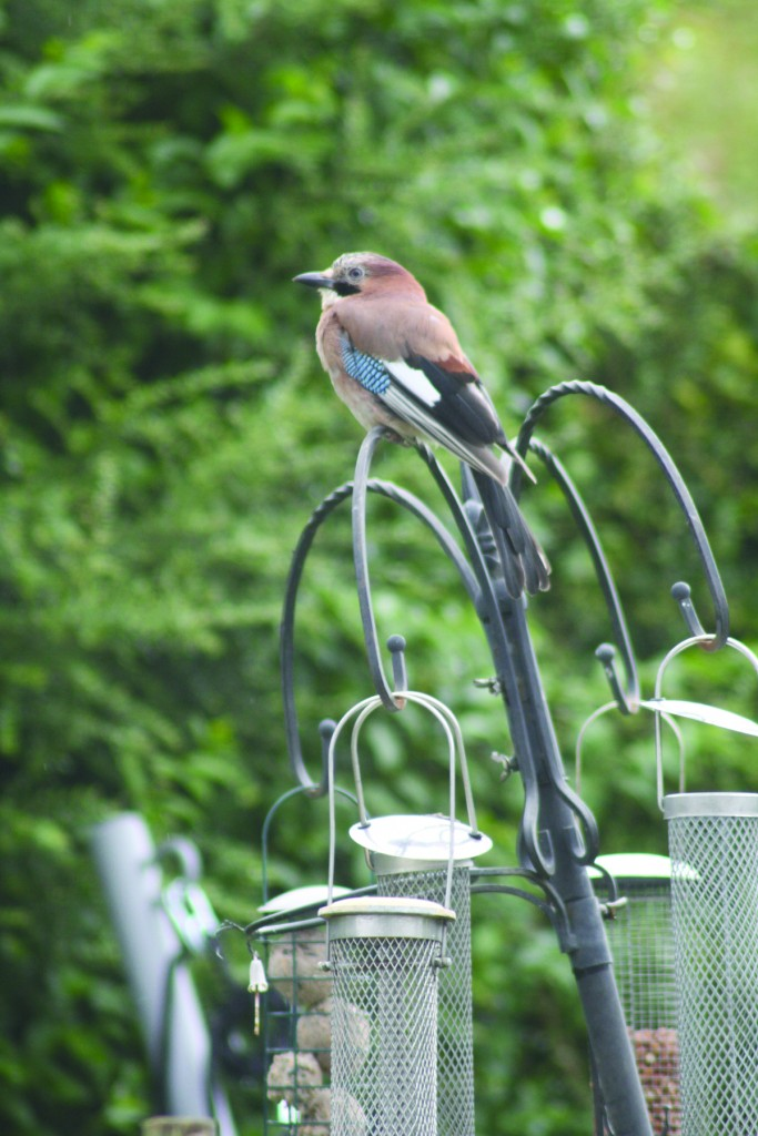 GUEST OF HONOUR: The beautiful jay perches on Dúlra feeders and surveys the territory