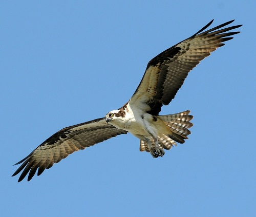 MAJESTIC: Could the osprey be a familiar sight over the Belfast Hills?