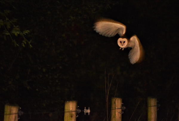 OUT OF THE DARKNESS: The elusive barn owl that was photographed by a Crumlin photographer