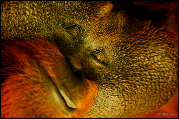 Bornean orangutan Sibu (37), has a nap in the new orangutan forest in Dublin Zoo (Pic by Thomas McMullan)