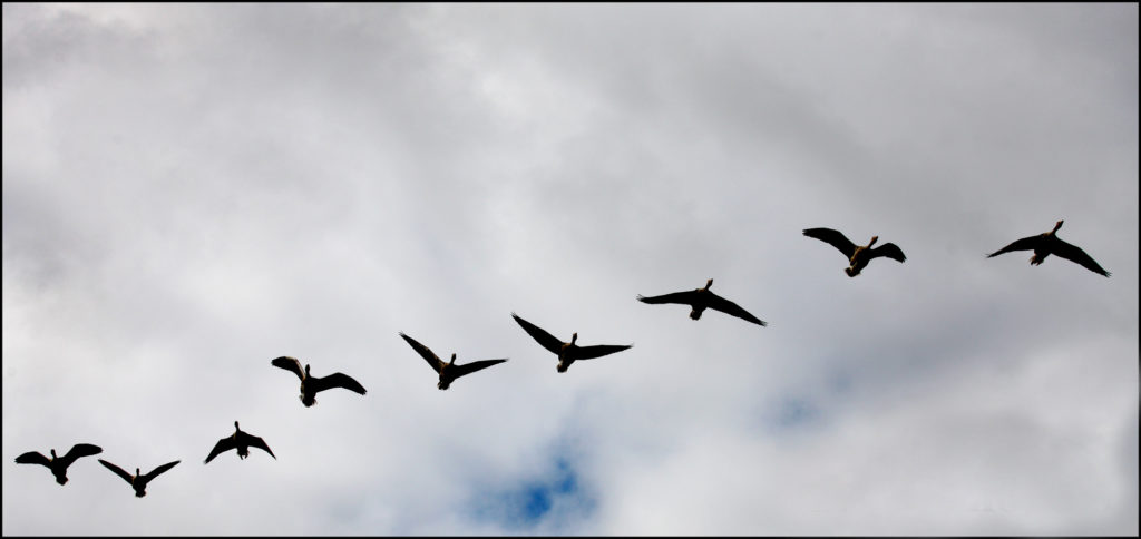 Wild Geese fly over Belfast to land in the Waterworks on the Antrim Road