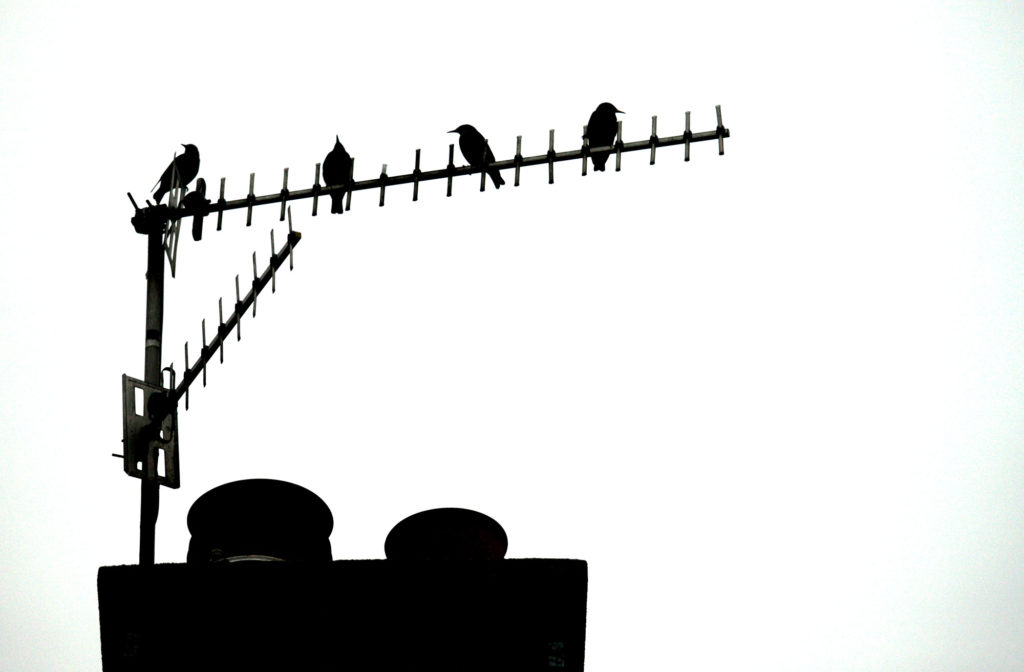 Starlings perch on a Springfield Road antenna. Starlings from northern Europe join our own birds in winter, so watch out for particularly large flocks over the next few weeks